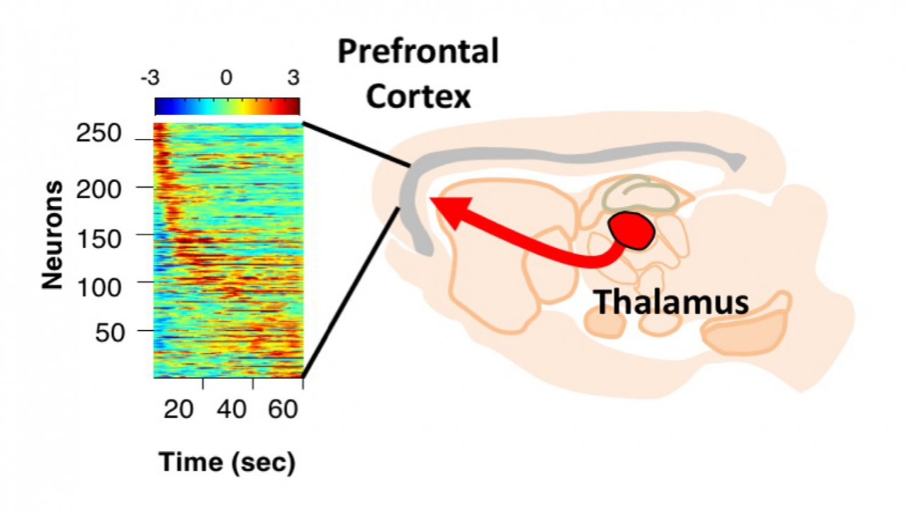 Thalamus Found To Play Key Role In Brain Circuity For Working Memory